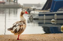 One goose on the shore of the Gulf of the Aegean Sea in the background boats stock images