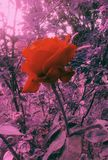 Rose. One gorgeous red rose outdoors agains purple backround royalty free stock photo