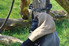 One gorilla with becket sitting in zoo in germany. stock image