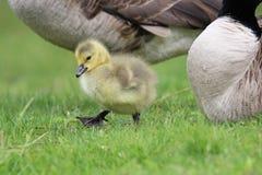 One Gosling Stock Photography