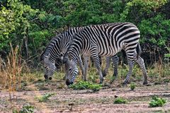Grant`s zebra, Equus quagga boehmi, in the South Luangwa National Park, Zambia. One Grant`s zebra, Equus quagga boehmi, in the South Luangwa National Park Stock Photo