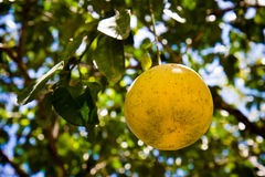 One grapefruit. A ripe grapefruit hanging from the tree Stock Photos