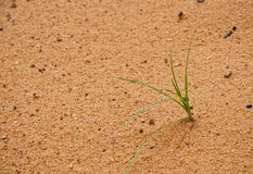 One grass born the sand Stock Images