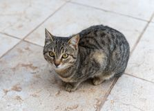 One gray cat is sitting on the tile and waiting to be given food stock images