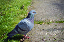 One gray pigeon. Closeup of a gray pigeon walking on the ground in the park Stock Photos