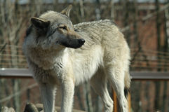 One gray wolf. Standing and looking back Stock Photography