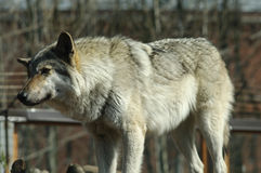 One gray wolf standing. One gray wolf standing and looking Stock Photo