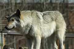 One gray wolf standing. Stock Photo