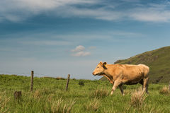 One grazing bull stock images