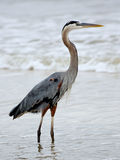 One Great Blue Heron walking in the surf Stock Photo