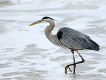 One Great Blue Heron walking in the surf Stock Photos