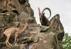 One great Siberian ibex Stock Photography