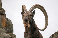 One great Siberian ibex Stock Photos