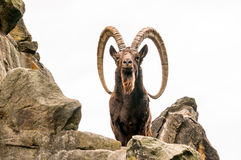 One great Siberian ibex Royalty Free Stock Photo