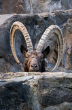 One great Siberian ibex Royalty Free Stock Photography