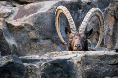 One great Siberian ibex Royalty Free Stock Image