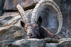 One great Siberian ibex Royalty Free Stock Photos