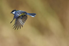 Great tit flying royalty free stock photos