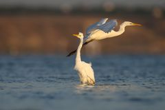 One great white heron flies. Very close to the herons standing in the water stock images
