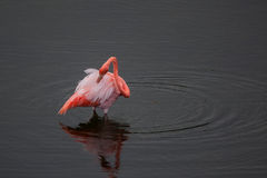Free One Greater Flamingo Standing In The Water With Duck Royalty Free Stock Photo - 61493655