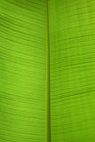 One green banana leaf Royalty Free Stock Images