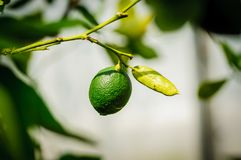 One green citrus lime fruit on tree branch in sunshine.  royalty free stock photography