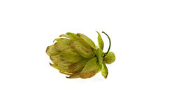 One green cone of hop Royalty Free Stock Photography