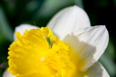 One green grasshopper sits on a white-yellow narcissus stock images