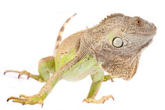 One green iguana. On white background stock image