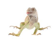 One green iguana Stock Images