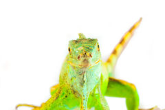 One green iguana Royalty Free Stock Photo