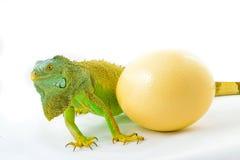 One green iguana Royalty Free Stock Images