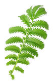 One green leaf Royalty Free Stock Photography
