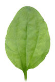 One green leaf Stock Photography