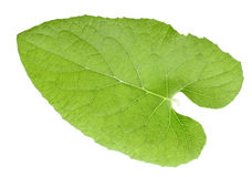One green leaf Stock Image