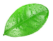 One green leaf with dew-drops Royalty Free Stock Image