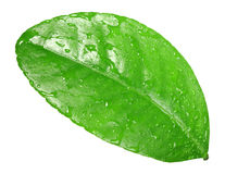 One green leaf with dew-drops Stock Images