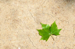 One green leaf on dry land. One green maple leaf on dry land Royalty Free Stock Images
