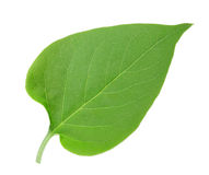 One green leaf of lilac Royalty Free Stock Photo
