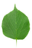 One green leaf of linden-tree Royalty Free Stock Photo