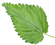 One green leaf of nettle Royalty Free Stock Photography