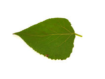 One green leaf of a poplar Stock Photo