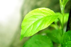 One green leaf in the sun a sprout tree fruit young in the morning stock images