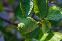 One green lime on a tree with blurred background. Close-up of one green lime on a tree with blurred background stock images
