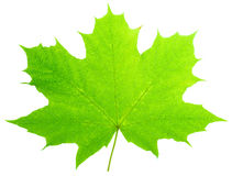 One green maple-leaf isolate Royalty Free Stock Image