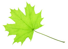 One green maple leaf Stock Photos