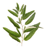 One green olive branch Stock Photos