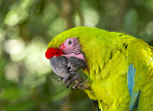 One green parrot Royalty Free Stock Photo
