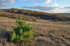 One green pine tree in the field autumn on a background of dry yellowed grass Stock Images