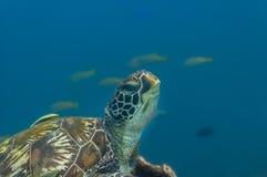 One green sea turtle portrait stock image